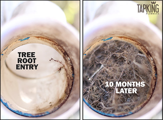 Tree Roots Blocked Or Damaged Your Drain Pipes Easy